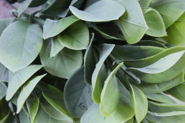 Искусственное растение -  Эвкалипт комнатный с корнями белый  Б10154