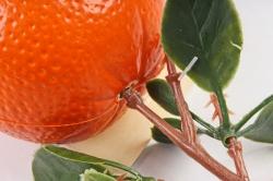 Апельсин на ветке