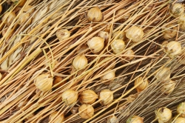 Букет из сухих колосовых культур (пшеница, лен),  409 гр. (М) 0866