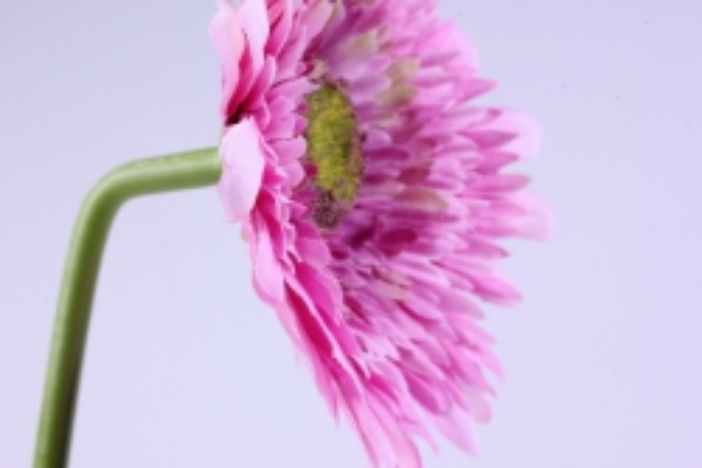 искусственное растение - цветок герберы 60 см малиновый sun348