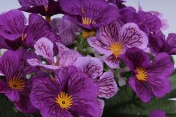 искусственное растение - примула пурпурная h=28cm