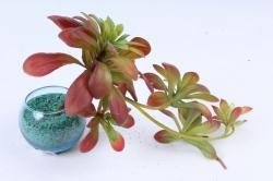 Искусственное растение -  Суккулент Эониум благородный коричневый  Э10314