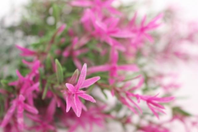 искусственные растения - иглицафуксия l=40см 8342-5