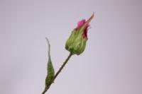 искусственные растения - пион 110см малиновый sun117