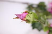 искусственные растения - пион 110см сиреневый sun117