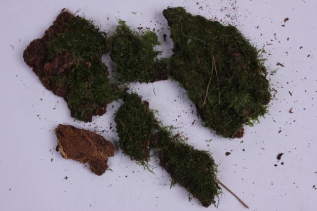 мох на коре
