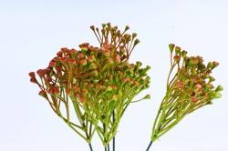 Пижма бордово-зелёная  GAB232B