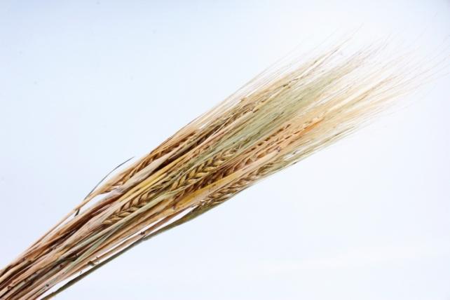 Пшеница натуральная  К